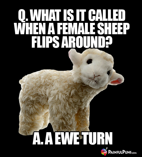 Q. What is it called when a female sheep flips around? A. A Ewe Turn